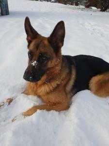 german shepherd indie in snow