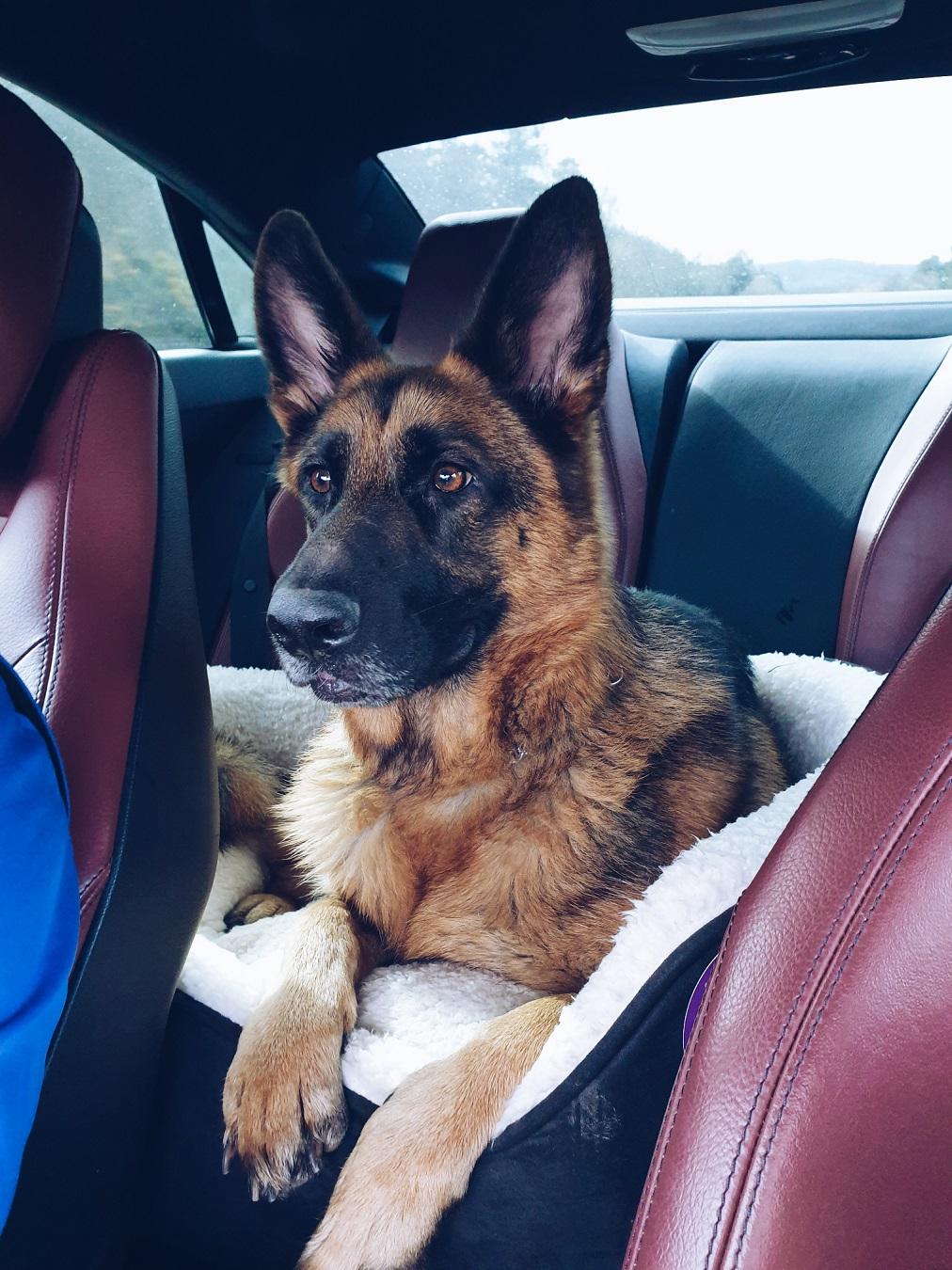 german shephers dog girl